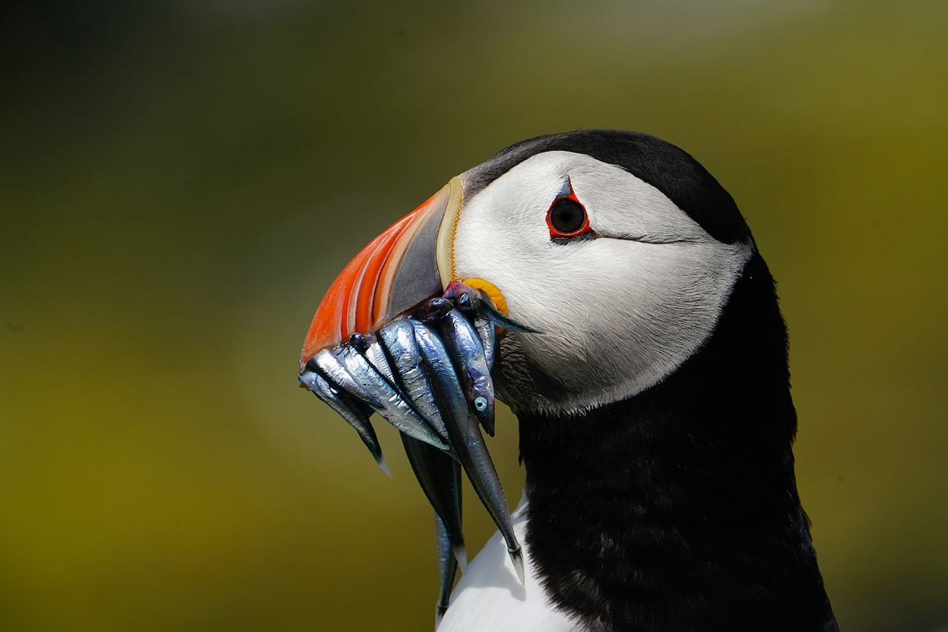 gustav-kiburg-sony-alpha-9-puffin-with-a-mouth-full-of-fish