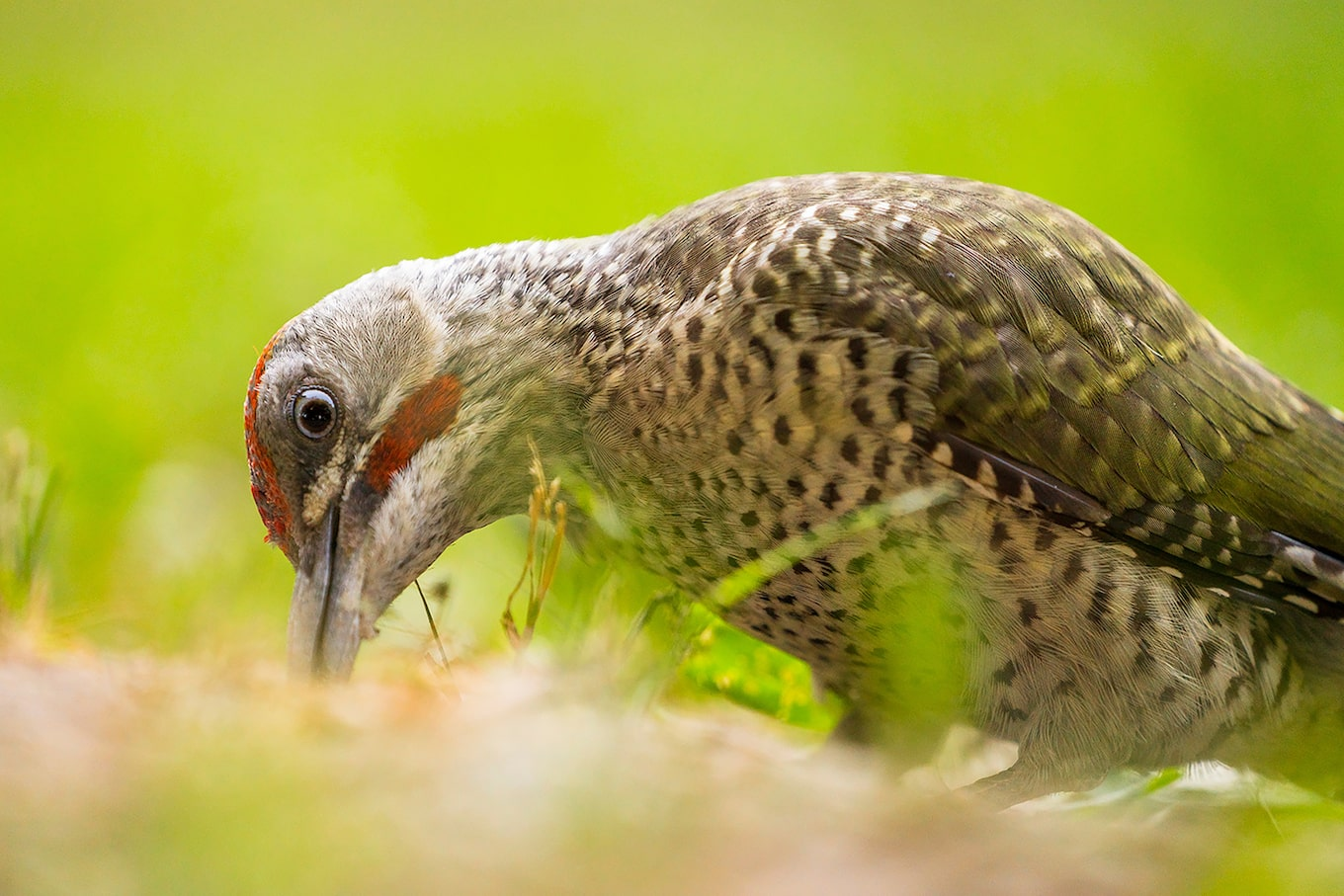 javier-aznar-sony-alpha-7RIII-bird-examines-the-ground-for-food