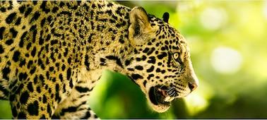 Imagen de un gran felino con detalles en 4K