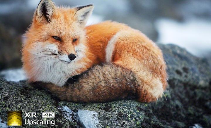 Imagen de un zorro en claridad 4K