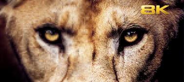 Imagen de una cabeza de león con todo detalle con la conversión a 8K XR