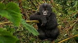 suha-derbent-sony-alpha-7RII-baby-gorilla-looking-straight-at-camera